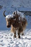 yaks chauds allants de lumière du soleil de l'Himalaya du Népal Photographie stock libre de droits