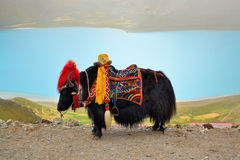Yaks chez Namtso Photo stock