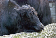 Yaks. Color photo taken in Moscow zoo Royalty Free Stock Images