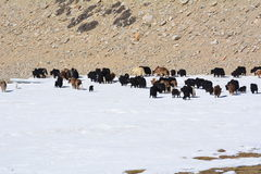Yaks : consommation ou boire ? Image stock