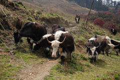 Yaks courants Photos stock