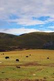Yaks dans Kangding Photo stock