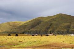 Yaks dans Kangding Photos stock