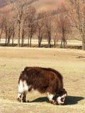 Yaks dans la campagne Photographie stock libre de droits