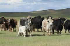 Yaks dans la steppe mongole Photos libres de droits