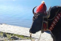 Yaks dans le lac Yamdrok au Thibet Photos stock