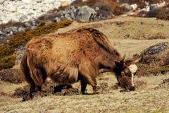 Yaks dans les montagnes du Népal Photos libres de droits