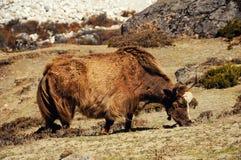 Yaks dans les montagnes du Népal Images libres de droits
