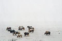 Yaks de chutes de neige lourdes au Thibet Photos stock
