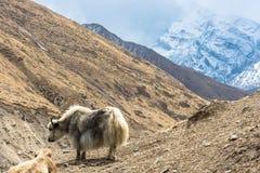 Yaks in de Himalayan-bergen, Nepal Royalty-vrije Stock Foto's
