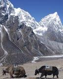 Yaks de l'Himalaya Image stock