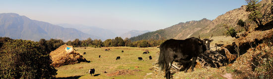 Yaks de l'Himalaya photo libre de droits