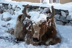yaks de l'Himalaya de chutes de neige du Népal Photographie stock libre de droits