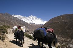 Yaks de l'Himalaya - le Népal Images libres de droits