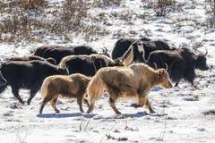Yaks in de prairie van de hoge hoogtesneeuw Stock Foto's