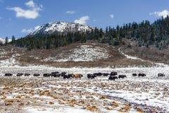 Yaks in de prairie van de hoge hoogtesneeuw Royalty-vrije Stock Foto