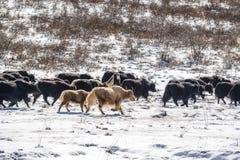 Yaks in de prairie van de hoge hoogtesneeuw Royalty-vrije Stock Afbeelding
