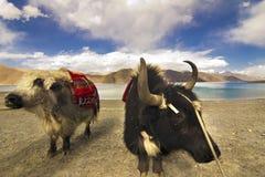 Yaks delante del lago Pangong imágenes de archivo libres de regalías