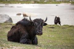 Yaks domestiques dans Ladakh photos stock