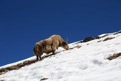 Yaks du Népal dans le voyage d'everest Image stock