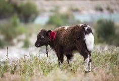Yaks du Thibet Image stock