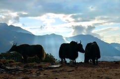 Yaks en mooie zonsopgang in Himalayan-bergen Nepal, Royalty-vrije Stock Foto's