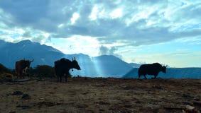 Yaks en mooie zonsopgang in Himalayan-bergen nepal Stock Foto's