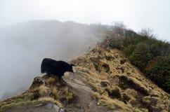 Yaks et troupeau en brouillard Le Thibet, les crêtes de neige nepal Images stock