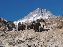 Yaks on the Everest Base Camp Trek in Nepal Royalty Free Stock Photo