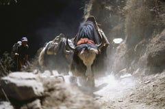 Yaks in Everest Region, Nepal. Yak train in Everest region, Nepal Stock Images
