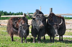Yaks on the farm Royalty Free Stock Photo