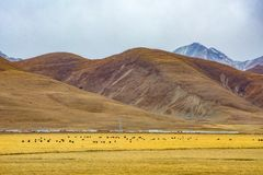 Yaks on the field. Yaks on the highland field in Tibet stock photos