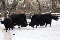 Yaks are fighting. Two dark yaks are fighting with each other in winter Royalty Free Stock Photography