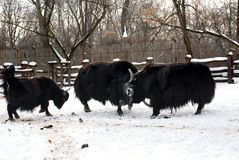 Yaks are fighting. Two dark yaks are fighting with each other in winter Stock Image