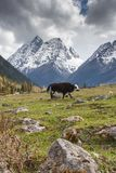 The yaks in the Four Maiden`s Mountain Mt. Siguniangshan Scenic Area is an unspoiled wilderness park located in western china an. D Qiang Autonomous Prefecture stock photography