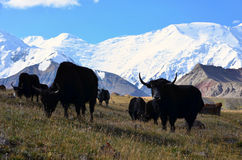 Yaks in front of Lenin Peak Stock Images