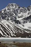 Yaks at Gokyo Lakes Royalty Free Stock Photos