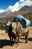 Yaks with goods on the way to Everest base camp Stock Photos