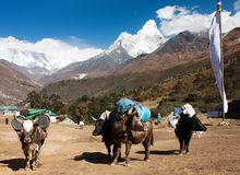 Yaks with goods on the way to Everest base camp Stock Photography
