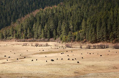 Yaks in grass land. With forest in background, China Stock Photography