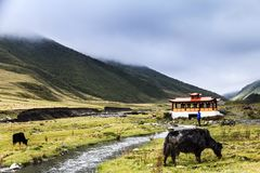 yaks in the grassland Stock Photography