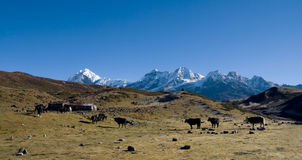 Yaks graze on alpine pastures Stock Photography