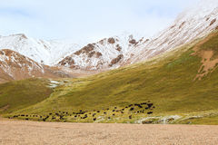 Yaks graze in the mountains Royalty Free Stock Photography