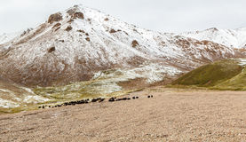 Yaks graze in the mountains Stock Photos