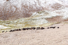 Yaks graze in the mountains Stock Images