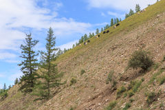 Yaks are grazed on a mountain slope. Royalty Free Stock Images