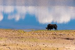 The yaks are grazing by the lake. Yaks living at high altitudes graze by the lake. Blue sky and clouds are reflected in the lake royalty free stock images