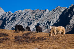 Yaks grazing in the mountains. Herd of yaks grazing with mountain scenery background Stock Image
