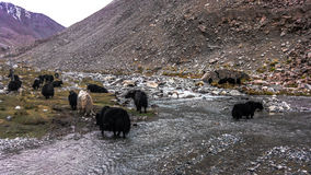 Yaks. Grazing in natural habitat Royalty Free Stock Images