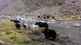 Yaks. Grazing in natural habitat Royalty Free Stock Photography
